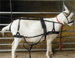 b goat harness