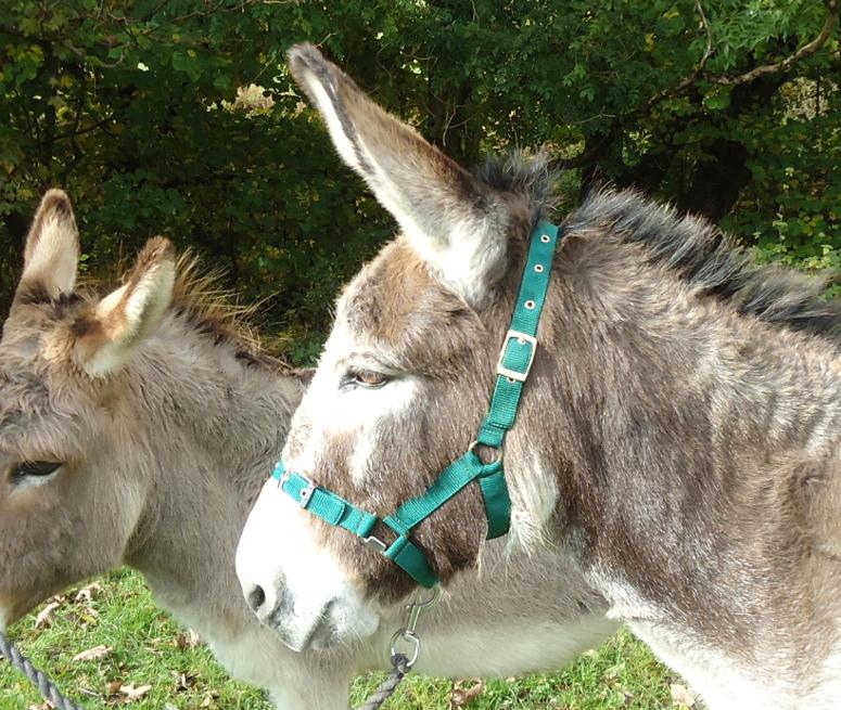 Miniature Horse Donkey Headcollars