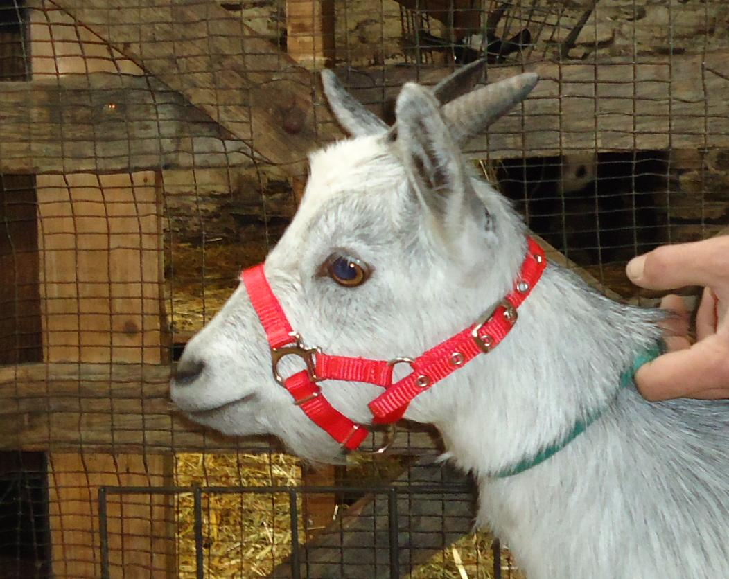 pygmy goat red